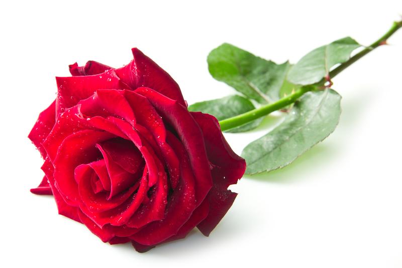 Single Red Rose dreamstime_s_28094204